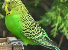 پروبیوتیک پرندگان زینتی