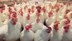 فروش عمده پروبیوتیک مرغ گوشتی